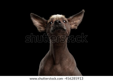 Funny Xoloitzcuintle - hairless mexican dog breed Raising up nose, Studio Close-up portrait on Isolated Black background, Front view, Curious Looks - stock photo