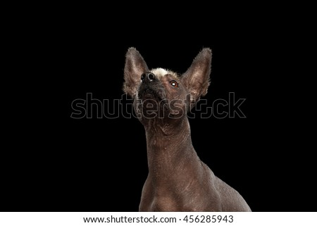 Funny Xoloitzcuintle - hairless mexican dog breed Raising up nose, Studio Close-up portrait on Isolated Black background, Curious Looks - stock photo