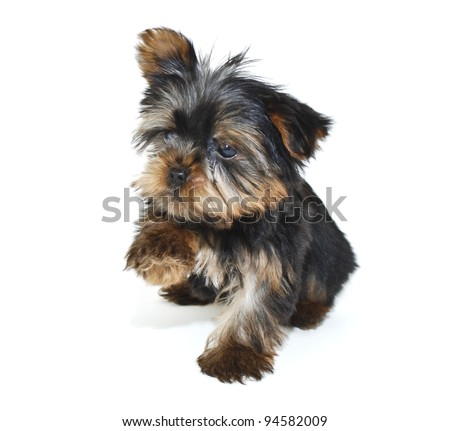 Funny Yorkie puppy that looks like he is trying to shake your hand, on a white background. - stock photo