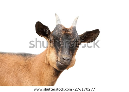 funny young brown male goat portrait isolated over white - stock photo