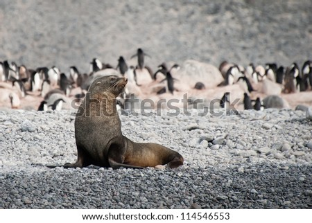 Fur seal in the beach of Antarctica - stock photo