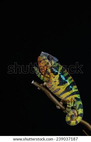 Furcifer pardalis. Turquoise, blue, white, orange, green and yellow chameleon isolated on black background. Ambilobe.  - stock photo