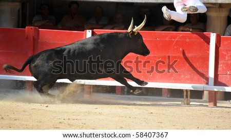 Furious bull in the bullfight arena running near a man - stock photo