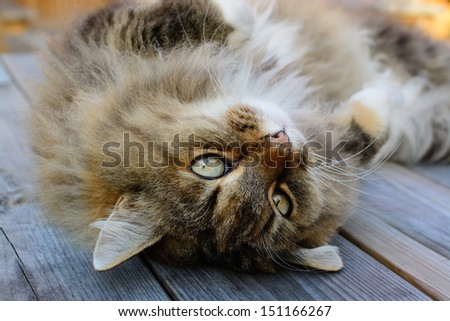 Furry and fluffy Norwegian Forest Cat laying on his back with a cuddly look, gazing upside down. - stock photo