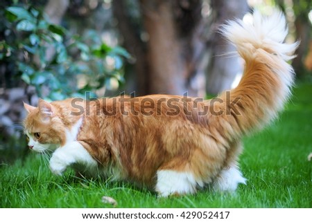 Furry Bi Color Orange Long Haired Doll Face Traditional Persian Cat Walking through Green Grass with Tail Up - stock photo