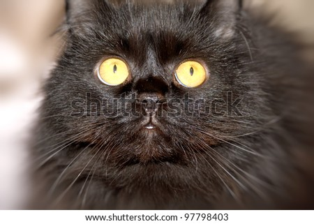 Furry black cat with yellow eyes looking at the camera. - stock photo