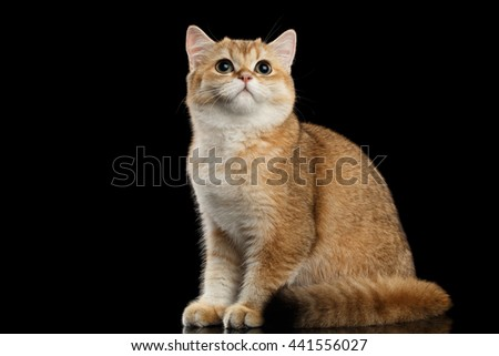 Furry British breed Cat Gold Chinchilla color Sitting and Looking up, Isolated Black Background, side view - stock photo