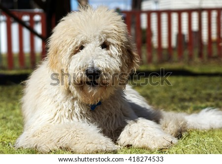 Furry goldenddodle dog in the yard - stock photo