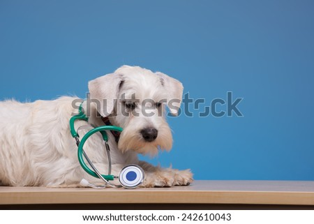 Furry patient. Portrait of a cute little dog lying on the table with stethoscope against blue background - stock photo