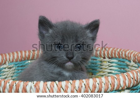 Fuzzy fluffy gray 4 week old tabby kitten peaking over the top of a multi colored spring basket, looking forwards - stock photo