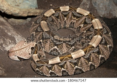 Gaboon Viper - stock photo