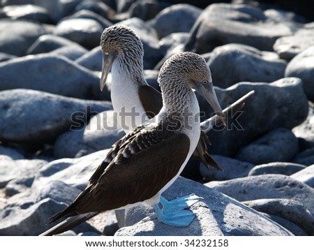 Galapagos Blue Footed Boobies - stock photo