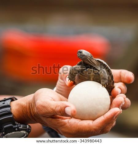 Galapagos giant tortoise in Galapagos Islands - stock photo