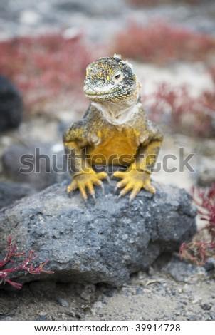 Galapagos Island Iguana - stock photo