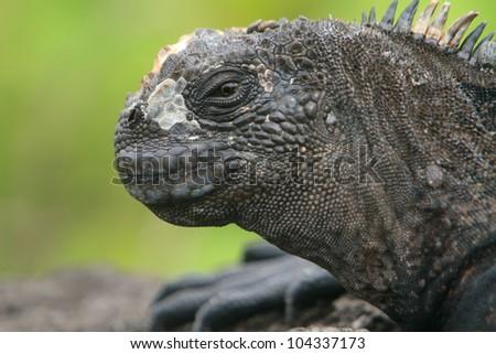 Galapagos marine Iguana - stock photo