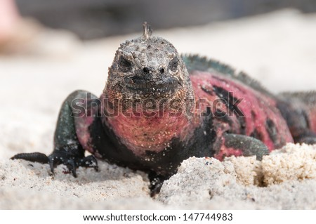 Galapagos marine iguana face on focusing on the head - stock photo