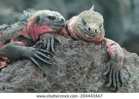 Galapagos Marine Iguanas (Amblyrhynchus cristatus) resting on rocks in La Espanola island, Galapagos, Ecuador - stock photo
