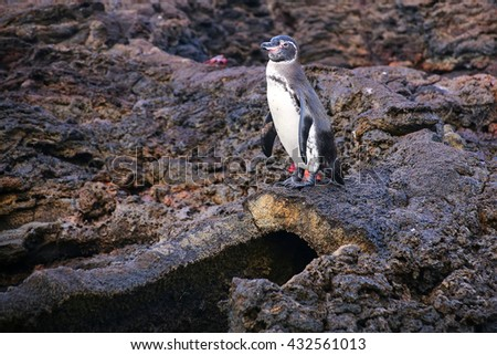 Galapagos Penguin (Spheniscus mendiculus) standing on top of the lava tube on Bartolome island, Galapagos National Park, Ecuador. It is the only penguin that lives north of the equator in the wild. - stock photo