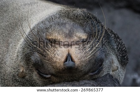 Galapagos Seal - stock photo