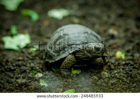 galapagos turtle eating leaves in san cristobal galapagos ecuador - stock photo