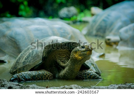 galapagos turtles swimming in a lagoon in san cristobal galapagos ecuador - stock photo