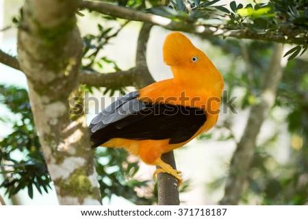 Gallito de las rocas (Rupicola peruviana) national bird of Peru. - stock photo