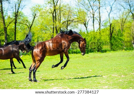galloping bay sportive breed horse in open manege - stock photo