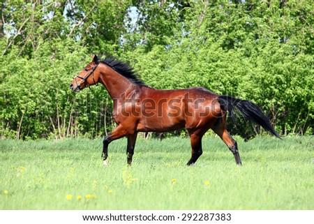 Galloping bay sportive horse in farm - stock photo