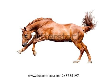 Galloping chestnut horse, isolated on white background - stock photo