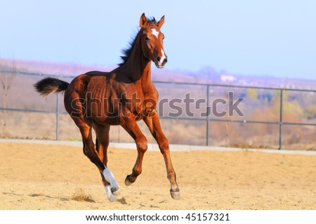 Galloping colt - stock photo
