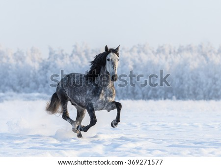 Galloping grey Purebred Spanish horse - stock photo