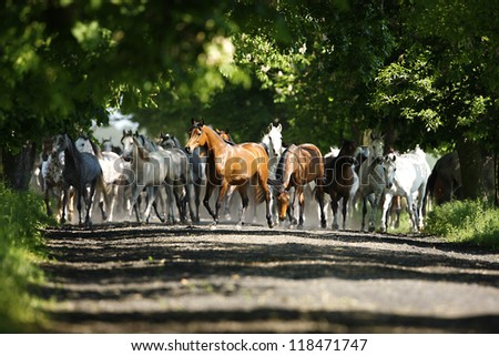 Galloping horses at pasture - stock photo