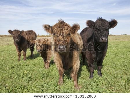 Galloway cattle on lush pasture.  Beautiful autumn day in Wisconsin - stock photo