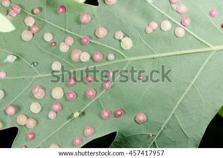 galls under oak leaf (flat light) - stock photo