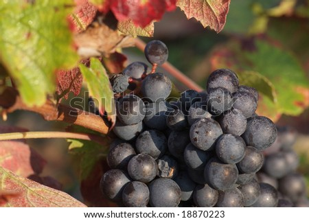 Gamay is a purple-colored grape variety used to make red wines, most notably grown in Beaujolais, at north of Lyon.(France) - stock photo