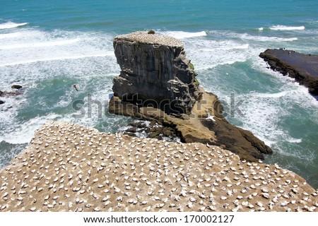 Gannet colony at the beach - stock photo