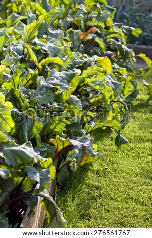 garden bed with beets in a kitchen garden - stock photo