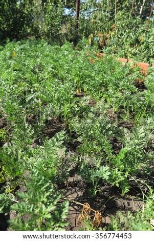 Garden carrot (Daucus) in the summer garden bed  - stock photo
