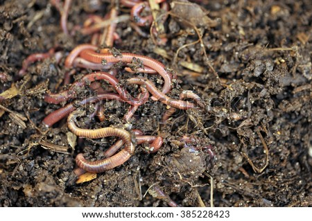 Garden compost and worms recycling plant and kitchen food waste into a rich soil improver and fertilizer. - stock photo