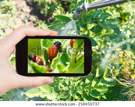garden concept - man taking photo of processing of pesticide on colorado potato beetle on mobile gadget in garden - stock photo