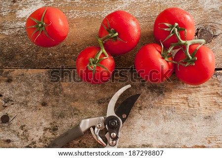 Garden fresh ripe red tomatoes picked from the vine lying on an old rustic wooden table with pruning shears or secateurs, overhead view - stock photo