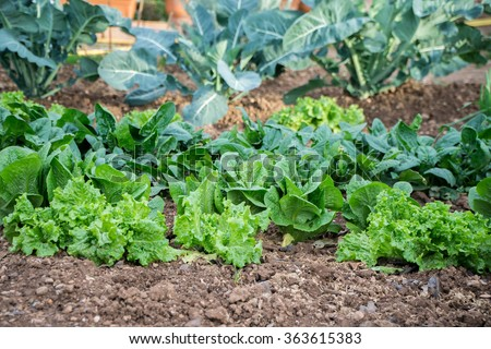 garden, grow vegetables, young shoots of lettuce - stock photo