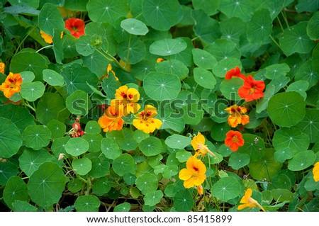 garden nasturtium - stock photo
