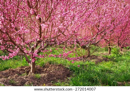 Garden of spring peach. Flowers tree. Nature composition. - stock photo