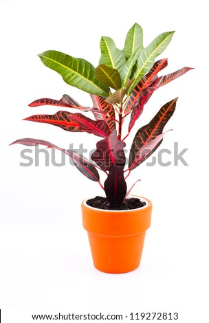 Garden plant isolated on white background - stock photo