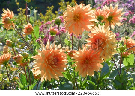 Garden Scene with Chrysanthemums in Bloom - stock photo