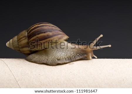 Garden Snail, Helix aspersa, in front of dark background - stock photo