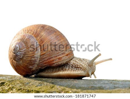 Garden snail (Helix aspersa) isolated - stock photo