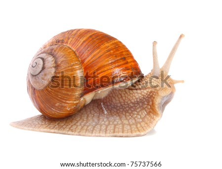 Garden snail (Helix aspersa) Snails provide an easily harvested source of protein to many people around the world. - stock photo