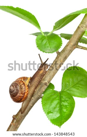 Garden snail on a branch, isolated on white - stock photo